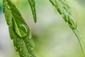 Marijuana And Migraines
