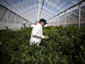Marijuana grower checking his crop