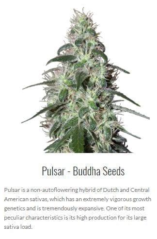 buddha seeds autoflowering cannabis spain