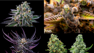 Pisos has 50 strains of flowers and 50 other types of cannabis goods in their menu