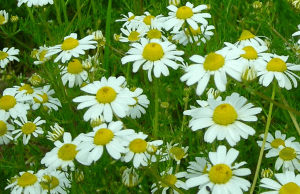 bisabolol is best known from chamomile