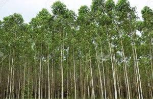 eucalyptol is named after eucalyptus trees