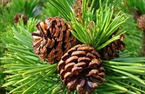 pine trees are rich in pinene